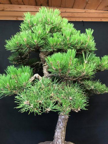 arbre en cours de mekiri