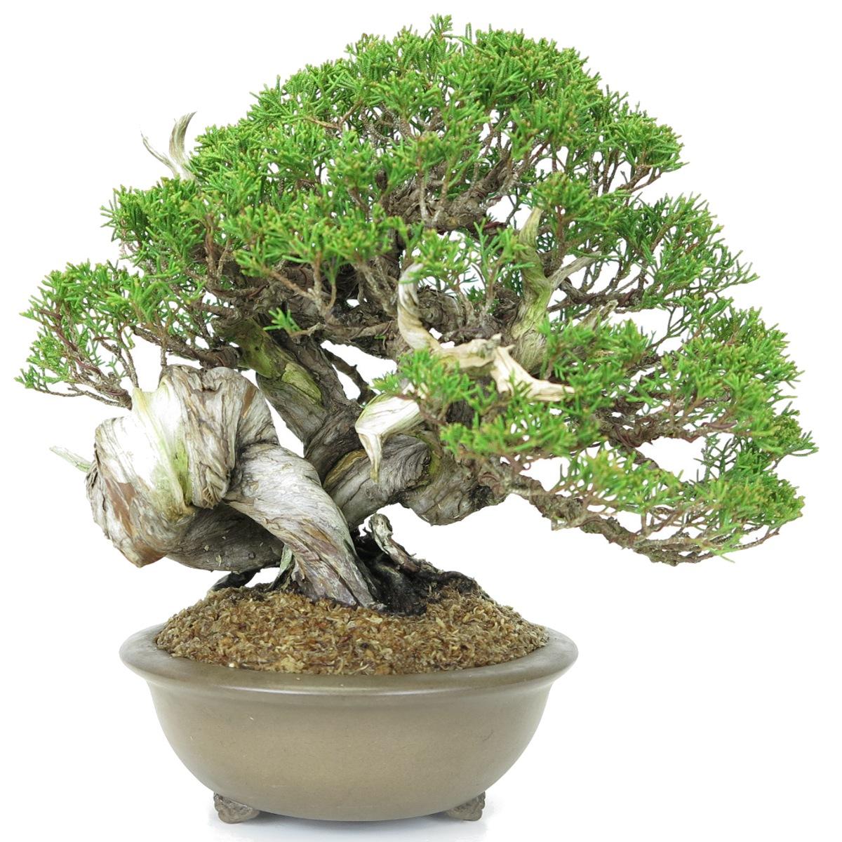 juniperus itoigawa a vendre