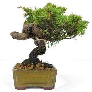 juniperus pas cher
