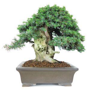 juniperus rigida tosho