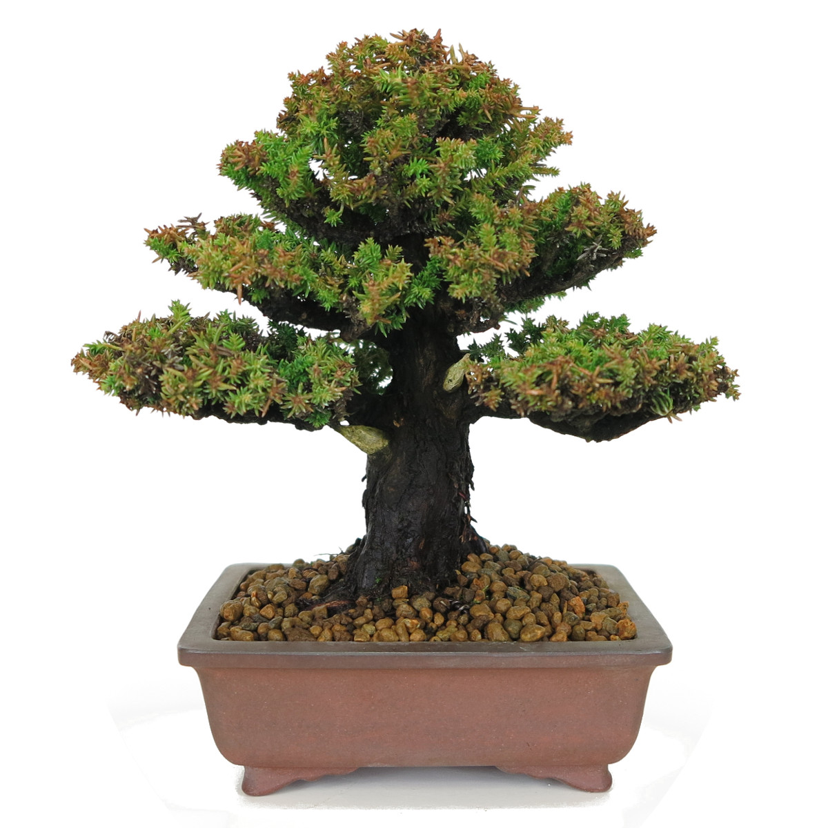 cryptomeria japonica bonsai